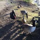 喂天鹅喂鸭子#程程在uk##宠物#