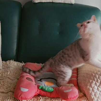 #宠物界逗比##宠物##精选#@宠物频道官方账号 @美拍小助手 😊2018就要来了,也许没有以前的猫咪多了,也许会没有那么多精力放在美拍上面,可是源妈还是会坚持更新的,因为有一直支持和喜欢我们的你。(源妈和牛奶会一直活跃在美拍的小世界滴)😘😘😘