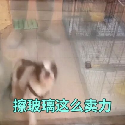 【训犬师/养狗的超哥美拍】01-01 23:47