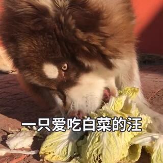 是谁说想球球了得,球球是只爱吃白菜的汪😳#萌宠##阿拉斯加##宠物#给球球个❤️不?