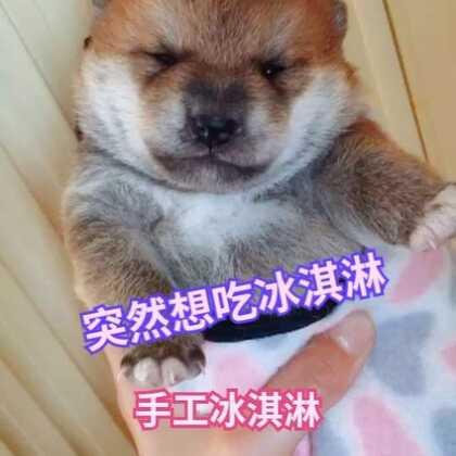 纯手工制作柴犬冰淇淋🎂🎂🎂#宠物##精选##柴犬#18640276531