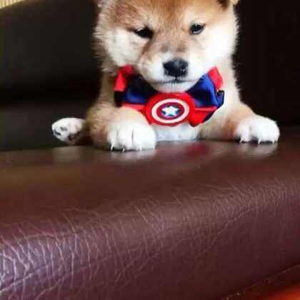 你在想什么呢 还是没睡醒呀#宠物##柴犬##精选#