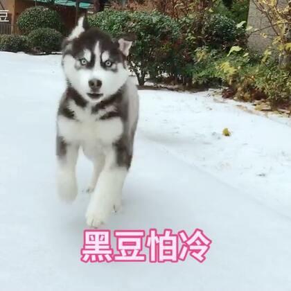 #宠物#雪地是哈宝主场,黑豆战斗力不行,一会就想回家了!