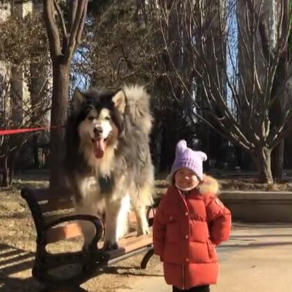 混更一条~不要跟我说你们那里下了多大的雪,我森气!哼😂【我家店铺👉 https://weidian.com/s/1166867444?ifr=shopdetail&wfr=c】#宠物##阿拉斯加雪橇犬##萌娃和萌宠#