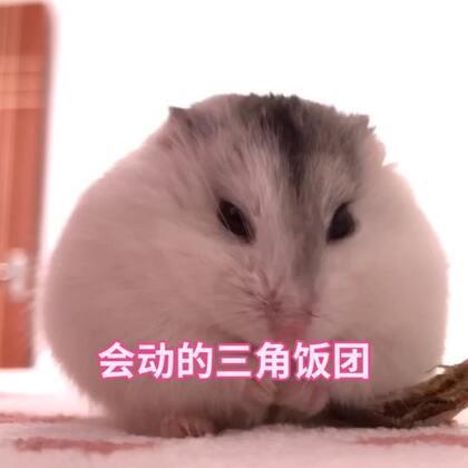 小火车 呜呜呜呜呜~~~#仓鼠##萌宠小仓鼠##仓鼠的日常#