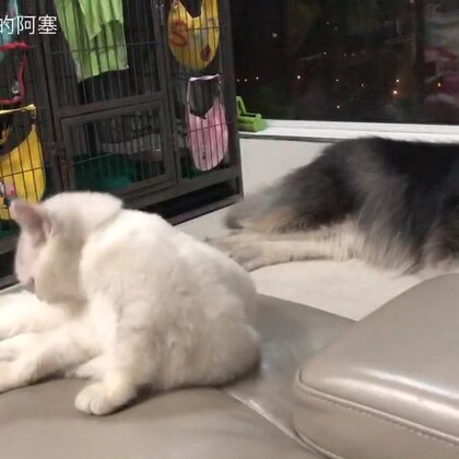 有了小哇之后,塞塞是蛮开心的,因为终于有人陪他闹了,而且不嫌弃他的口水😂😂每次打闹完塞塞到头就睡,我们小哇还要辛苦的整理毛发,哈哈哈哈#宠物##猫狗大战#