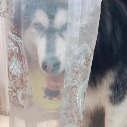 来来来,真爱粉们,谁把这个新娘子娶回家#宠物#