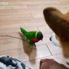 最喜歡追小鳥的嘎逼,居然因為一隻鸚鵡而吃醋 #柯基犬嘎逼##寵物##萌宠#