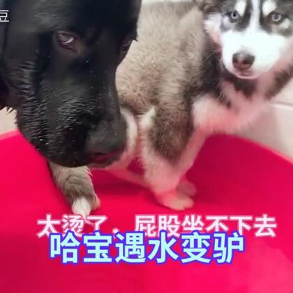 #宠物#不要轻易尝试让两只狗洗鸳鸯浴,一个字:累!给黑豆洗,哈宝骂街,给哈宝洗,黑豆用大头拱!