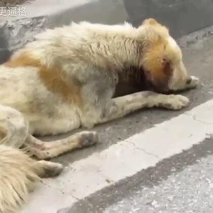 马路上一条狗饿的走不动,幸运的是遇到了好心人,视频看到最后,心里一股暖流,为每一位善良好心人点赞!#感动##汪星人##宠物#