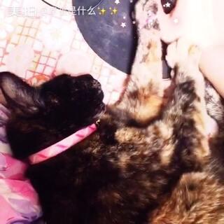 """#萌宠暖心15秒##恋爱ing手势舞# 已经回喵星球的二姐最爱睡前""""踩奶""""呢!麻麻想你哦!💕💕"""