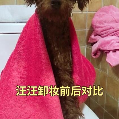 今天给汪洗个澡 过几天带她做美容、大家都是自己给宠物洗澡还是去店里洗澡呢? 、 #宠物##萌宠暖心15秒# @喵喵儿的店 @喵汪悟空