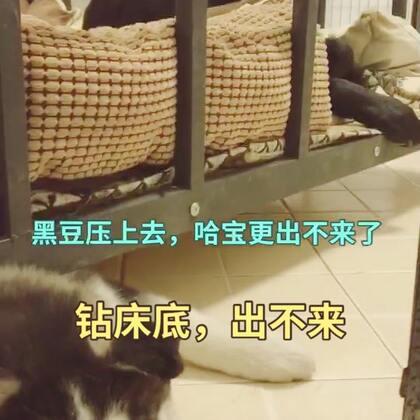 #宠物#哈宝总是抢黑豆的零食躲到床底下吃,终于有一天,哈宝卡床底出不来了😢