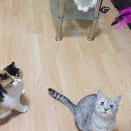 放假了 寄养在家的猫猫