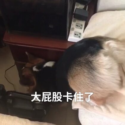 哈哈哈哈哈小短腿干啥都很不方便呢!下沙发还能卡住哈哈哈哈哈嘲笑一分钟😂😂😂😂😂#宠物#