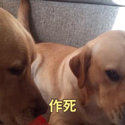 #宠物#作死别带着我,蟹蟹!#艾伦爸爸自制天然狗狗零食#淘宝:5130736 微信:threedogs2016