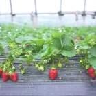 #美食##我要上热门# 手工制果酱,2斤草莓才能熬出1瓶,费用高达60元1小瓶!