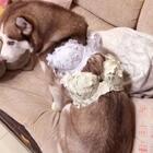 #宠物##哈士奇#😂一款连狗子都喜欢穿的罩子你还在等什么?店主vx: lijuanbetter 她们家内衣穿了真的半年多了~😂