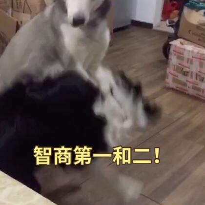 #宠物#本来vk最怕八福……后来………………为了撸………………反正两只都不会真下口……