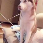 #宠物##哈士奇#💔扎心了,唉