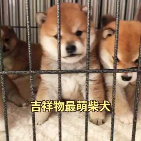 【柴犬此木庄美拍】#萌宠暖心15秒##宠物##柴犬# 都...