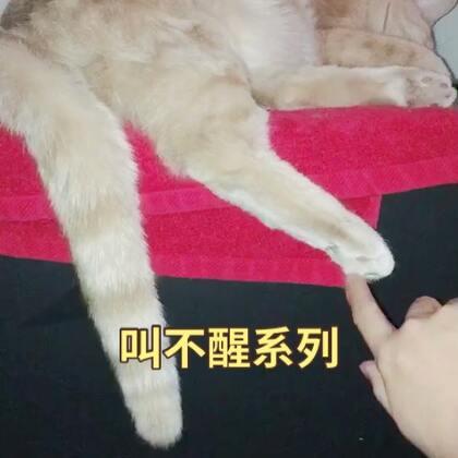 😂😂睡得跟💩🐷一样的Cheese,挠脚脚抓尾巴都叫不醒,#1秒叫醒你家宠物#挑战失败……#宠物##萌宠暖心15秒#