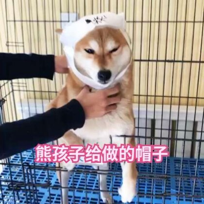 #which one##宠物##精选# 柴柴怀孕了,熊孩子非要给做个帽子保暖 结果柴柴表情好无奈😂😂😂