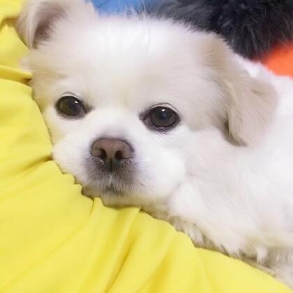 跟个受气小媳妇一样😘#宠物#淘宝店铺http://shop.m.taobao.com/shop/shop_index.htm?spm=0.0.0.0&shop_id=117933639