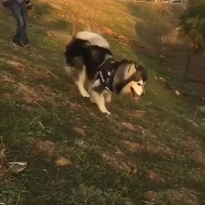 #宠物# 上山容易下山难