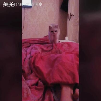 哈哈哈捕猎的小脑府#宠物##猫咪#