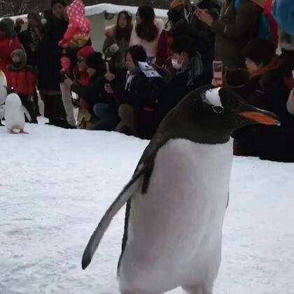 胖嘟嘟的小企鹅🐧#萌宠暖心15秒##宠物#