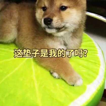 我就想问问垫子是我的了吗?#宠物##精选##柴犬#