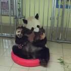 """法国卷毛小王子——成都旅法大熊猫""""圆梦"""",在2018年1月13日,迎来了自己的首个公众见面日。5个多月大的圆梦在妈妈欢欢的怀里,被啃啊啃~"""