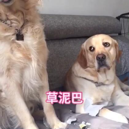 #宠物#敢怒不敢言就是这样子😂 淘宝:5130736 微信:threedogs2016#艾伦爸爸自制天然狗狗零食#