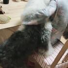 #宠物##古牧四喜妞#膝盖大法好 四喜是借助膝盖 跪着支撑爬上来的😂
