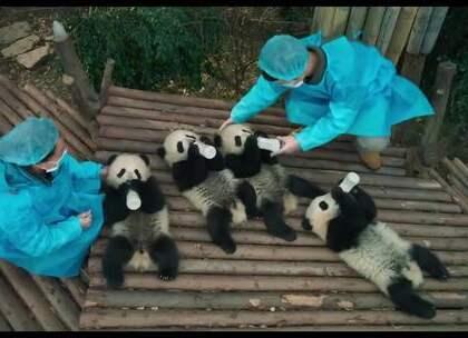 萌翻!IMAX打造原创纪录片《熊猫们》(Pandas)发布预告,该片以IMAX摄像机拍摄,主要在成都大熊猫繁育基地和都江堰野放研究中心取景,聚焦熊猫幼崽的野外放归~~想养一直!😂