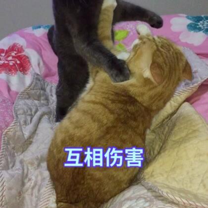 #宠物#(存稿)兄弟俩打打打日常😂