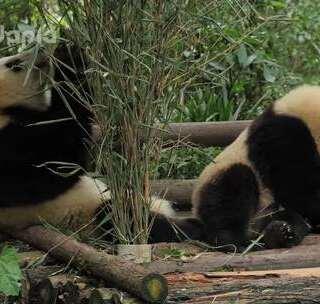#萌团子日常##大话熊猫#猪猪吃竹竹,竹竹和猪猪。此竹非彼竹,此猪非彼猪。