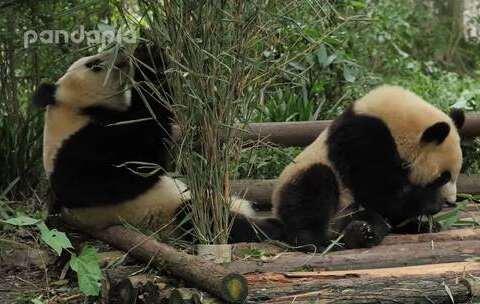 【PANDAPIA美拍】#萌团子日常##大话熊猫#猪猪吃竹...
