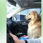 狗:下次再坐你车我就是狗!😂#搞笑##宠物#
