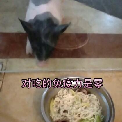 猪猪对吃真的不顾一切,隔着一道玻璃门感觉门都要被撞烂也要吃口面。😳#宠物##宝宝##音乐#
