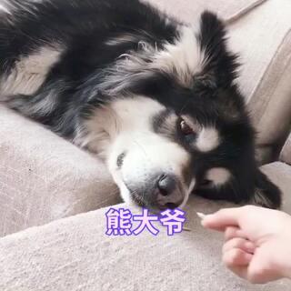 #宠物##汪星人##日志#熊大爷