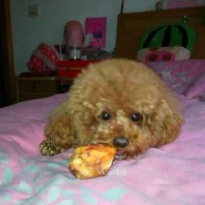 艾玛😳这个大骨头太难啃了😅😅😅#宠物##宠物界吃货##小魔豆#
