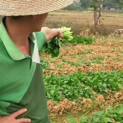 #美食##农村生活##热门#八哥辛辛苦苦种的。青菜让牛偷吃了一大片😭。@啊八厨房记