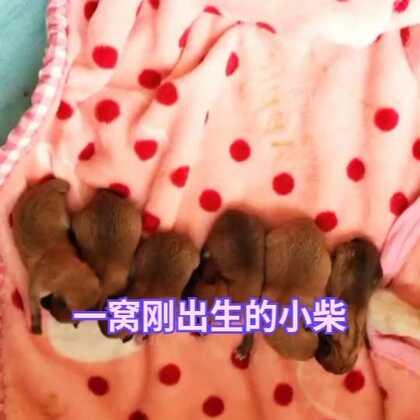 #宠物##柴犬##柴犬宝宝# 一窝刚出生的柴宝宝