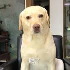 """#小布的日常生活# """"我在外面有狗了 怎么滴吧"""" #宠物##搞笑# @papi酱"""