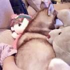 #宠物##哈士奇#😊哈士奇怎么可以没有活力呢!?振作起来吧哈士奇!振作起来吧徐奶油!振作起来吧二狗子!