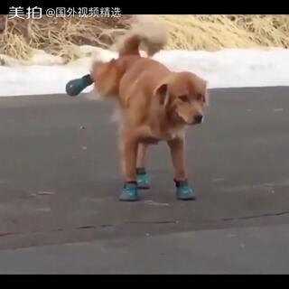 #宠物#淘气的主人给狗子第一次穿鞋子,狗狗急的又是跳又是跑的。整个狗都急倒立了😔