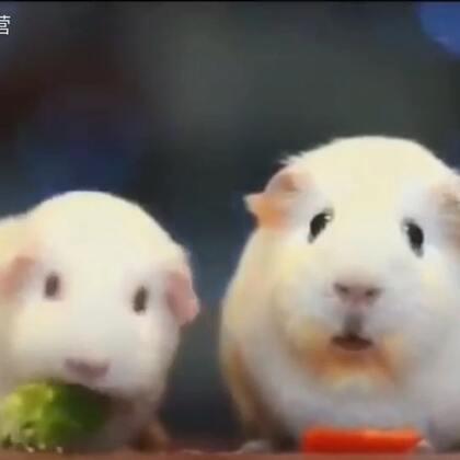 """当你发现你的女朋友是个大吃货时……😲😮Hello darkness my old friend """"version two guinea pigs"""" @小冰 👉更多豚鼠http://www.meipai.com/media/533506226?uid=1067758940 #俊男美女乐开怀##宠物界吃货##宠物#"""