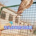 #宠物界吃货#舌头好长的长颈鹿?!@美拍小助手